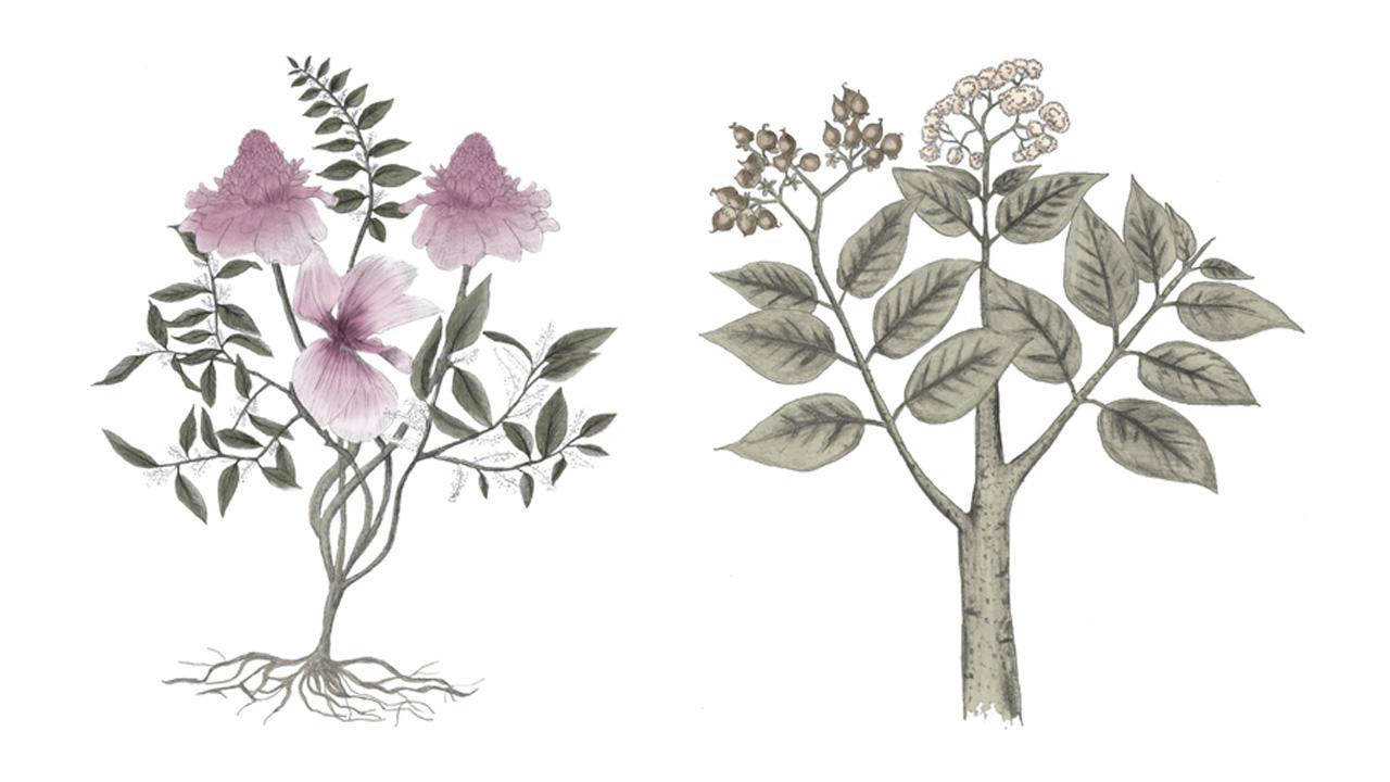 Blume&harongabaum
